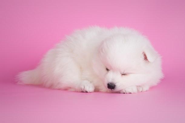 japanese spitz - sleeping beauty