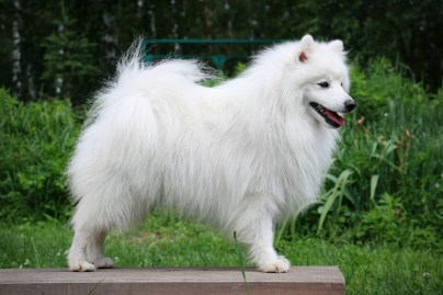 japanese spitz Baltik Lain Exciting Smile photo