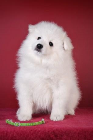 Japanese spitz puppy