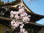 cherry blossom zenkoji Nagano