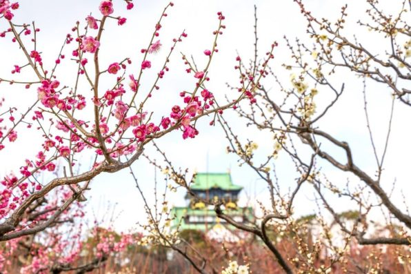 Osaka ume plum castle