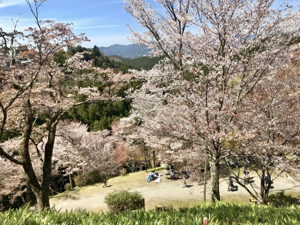 Mt. Yoshino Cherry blossoms