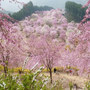 Mt. Yoshino Ohanami