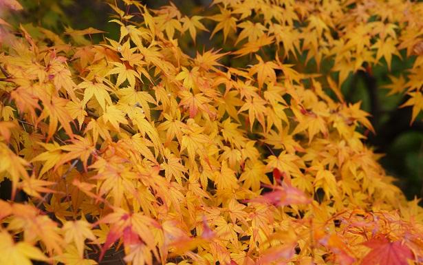 feuille automne japon