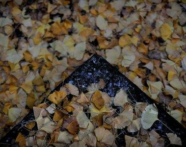 Gingko leaves in Hibiya Park by Alfie Goodrich