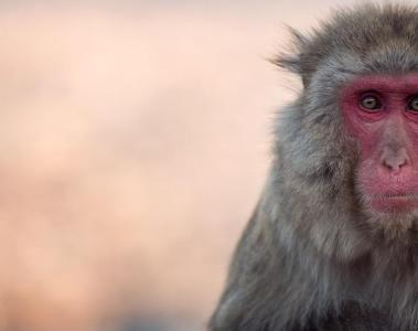 One ofthe monkeys at Arashiyama in Kyoto