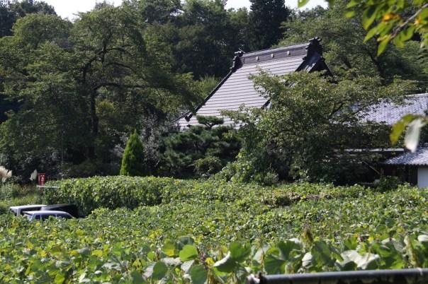 Here is a lowland area overtaken by kuzu.