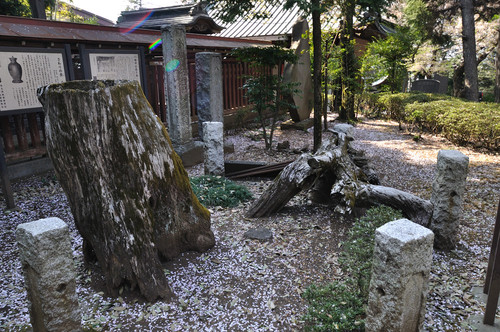 The shrine claims that this is the original pine tree that Yoritomo used.