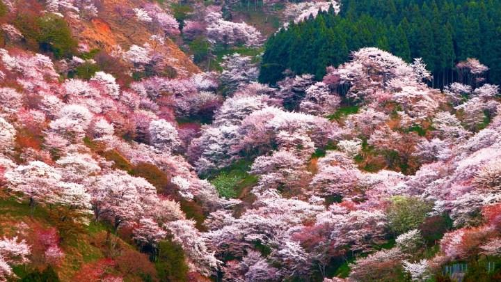 yoshino hanami, kyoto nara