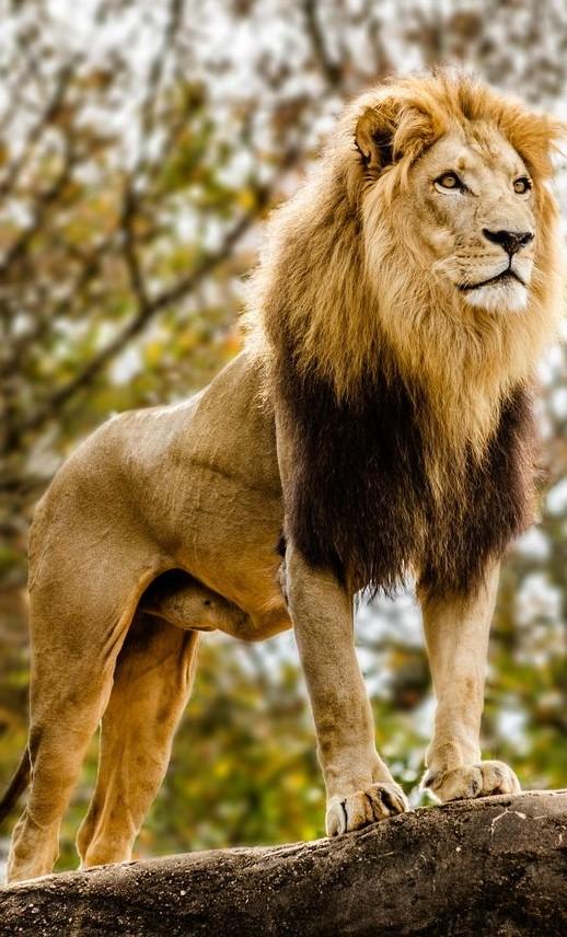 Lion Japari Library The Kemono Friends Wiki
