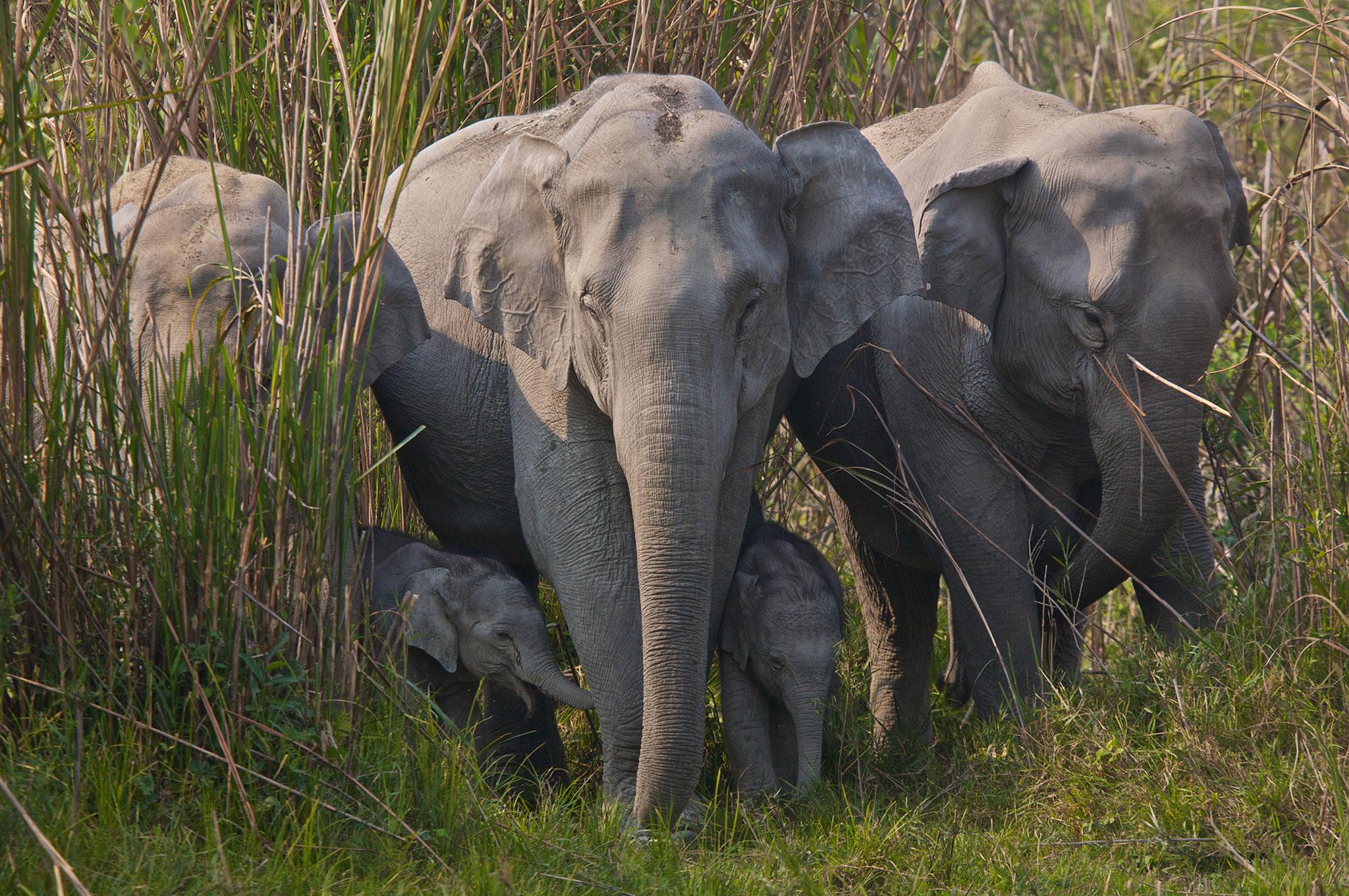 Indian Elephant  Japari Library the Kemono Friends Wiki