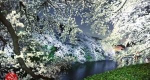 Chidorigafuchi Cherry blossom grove is lighted up at Night. It's amazing beauty. (2)