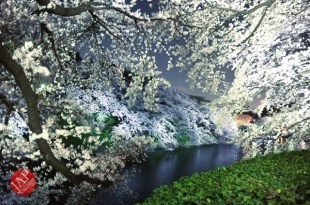 Chidorigafuchi Cherry blossom grove is lighted up at Night. It's amazing beauty. (2)