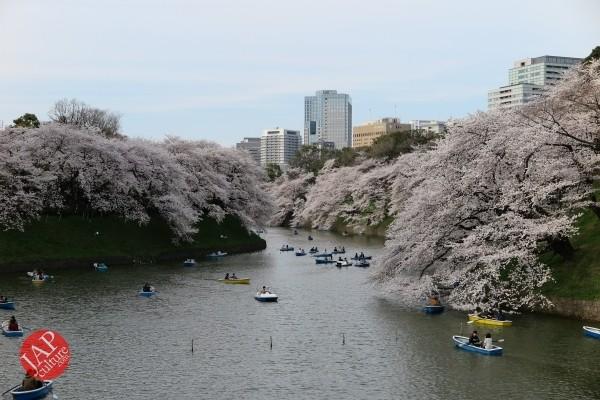 Sakura Best viewing, Imperial garden, Chidorigafuchi. 360 degree cherry blossom experience (25)