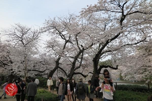 Sakura Best viewing, Imperial garden, Chidorigafuchi. 360 degree cherry blossom experience (20)