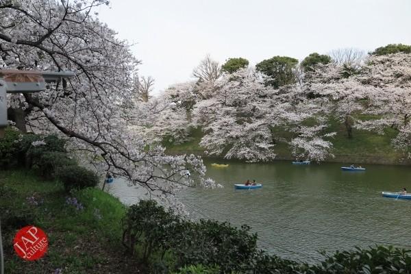 Sakura Best viewing, Imperial garden, Chidorigafuchi. 360 degree cherry blossom experience (17)
