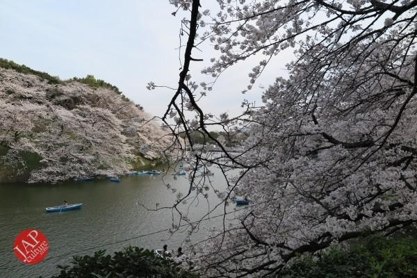 Sakura Best viewing, Imperial garden, Chidorigafuchi. 360 degree cherry blossom experience (16)