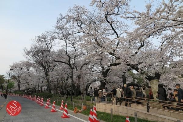 Sakura Best viewing, Imperial garden, Chidorigafuchi. 360 degree cherry blossom experience (7)