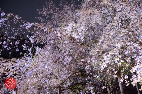 Weeping cherry tree (Shidarezakura) in Rikugien illumination attracts many people.0008