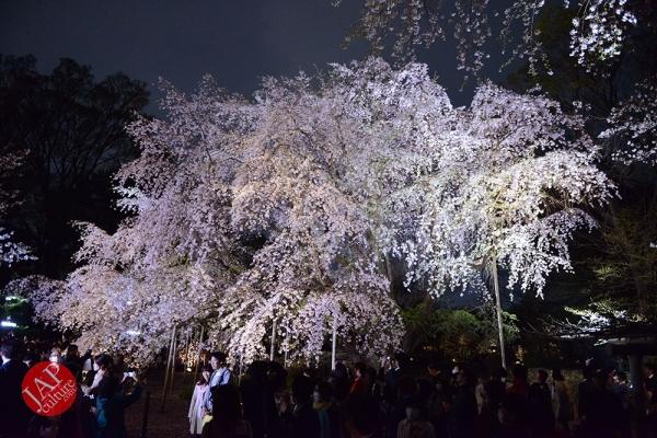 Weeping cherry tree (Shidarezakura) in Rikugien illumination attracts many people.0009