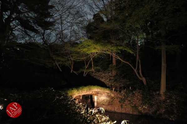 Weeping cherry tree (Shidarezakura) in Rikugien illumination attracts many people.0020