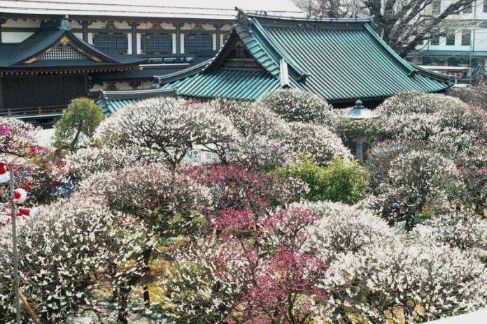 Festivales de Japón: el Bunkyō Ume Matsuri (文京梅まつり) o Festival de los Ciruelos de Bunkyō