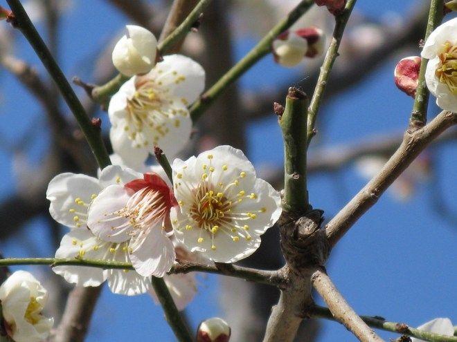 Flor del ciruelo (梅, ume)