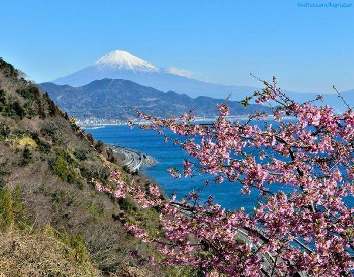 Ciruelos en flor en Japón. El Monte Fuji al fondo