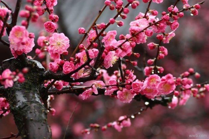 La flor del ciruelo (ume) en Japón