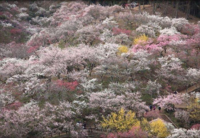 Festivales de Japón: Festival de los Ciruelos de Yoshino Baigō (吉野梅郷梅祭り, Yoshino Baigō Ume Matsuri), cerca de Tokio