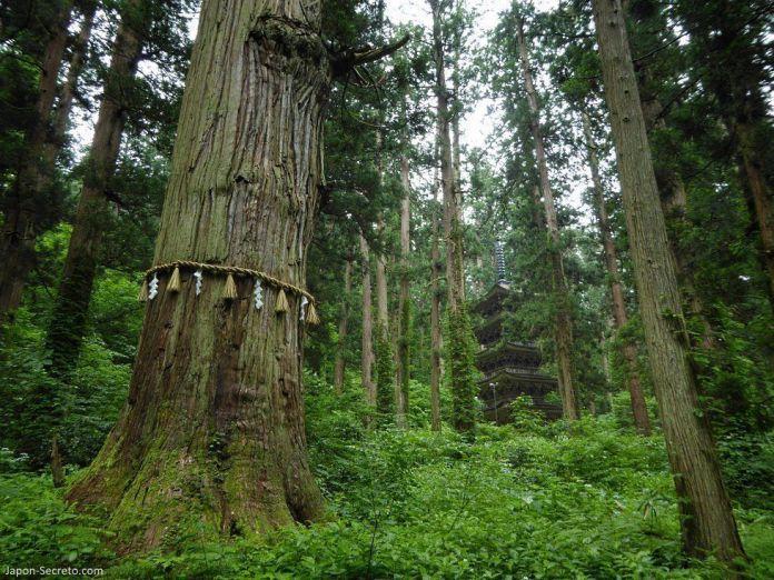 Japón. Ruta de peregrinación Dewa Sanzan. Monte Haguro (Hagurosan. Cedro gigante Jiji Sugi de 1000 años. Senderismo. Ruta a pie. Bosque de arces. 2446 escalones.