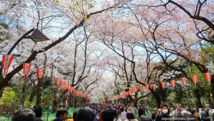 Parque de Ueno. Flores de cerezo en Tokio. Hanami. Sakura.