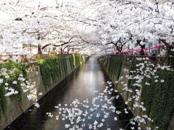 Meguro. Ver flores de cerezo o sakura en Tokio. Primavera.