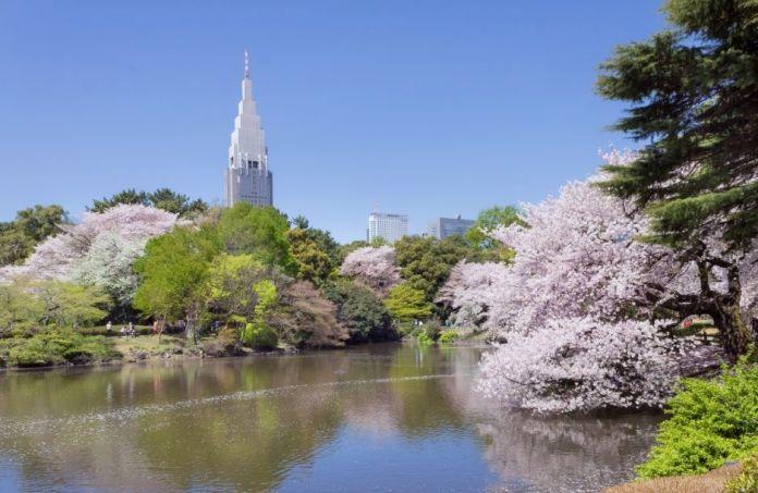 Parque Shinjuku Gyoen. Hanami. Ver flores de cerezo o sakura en Tokio. Primavera.