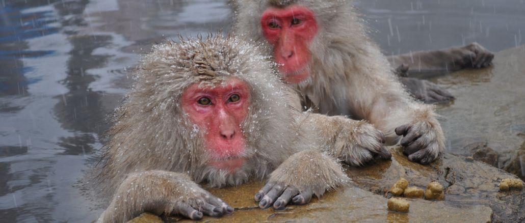 japońskie makaki - japonia-info.pl