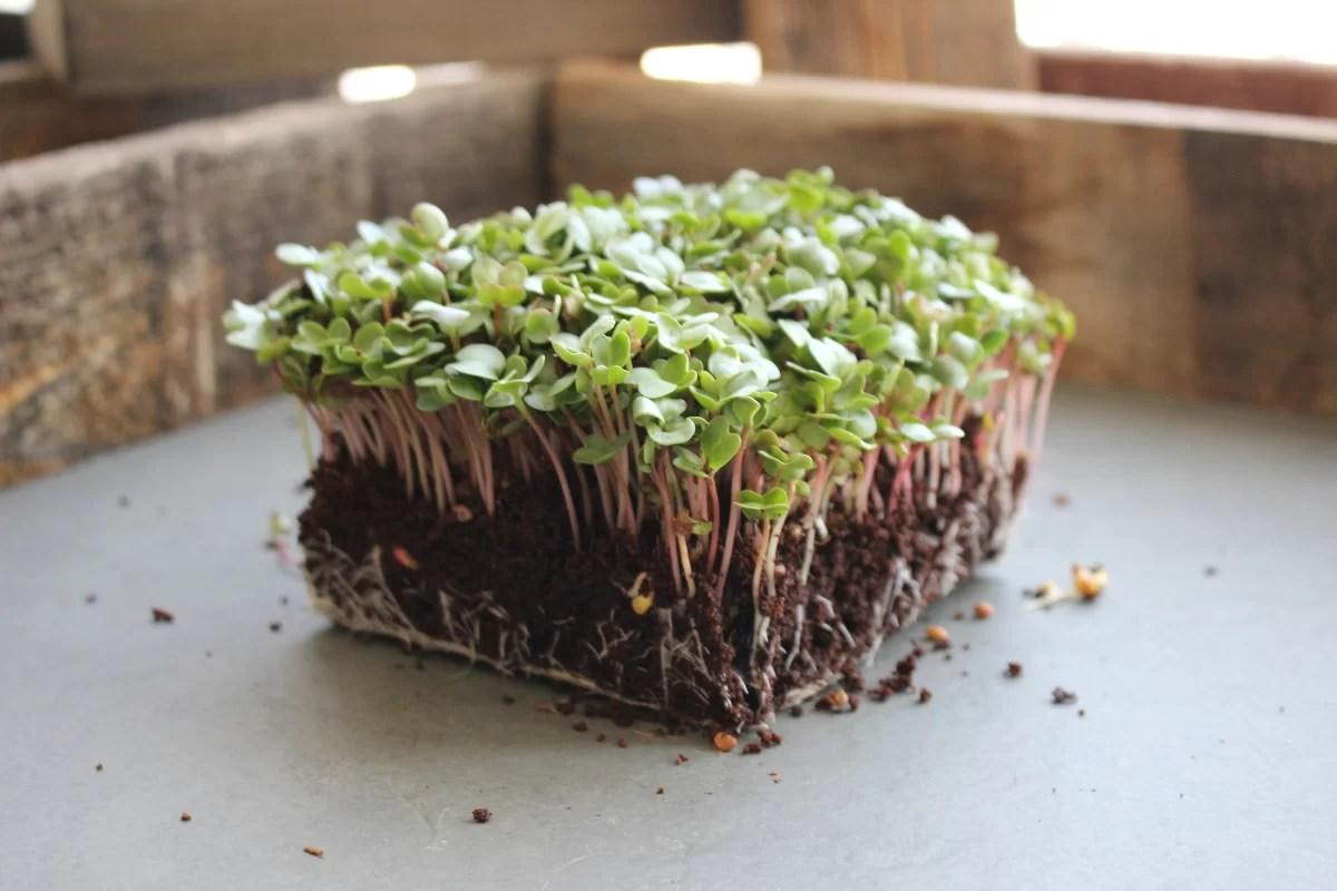 Aprenda como produzir mini vegetais