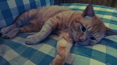 うちの猫 チャタロウ