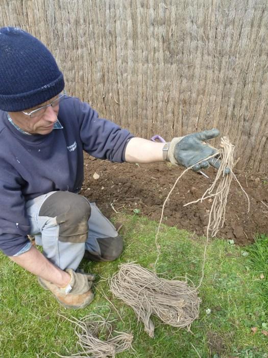 Plantation des asperges