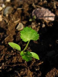 Jeune coriandre verdoyante