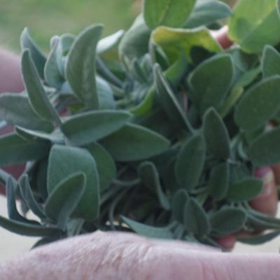 un jardin sensoriel : des plantes douces et odorantes au toucher