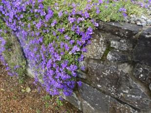Aubretia, Ardgillan Castle