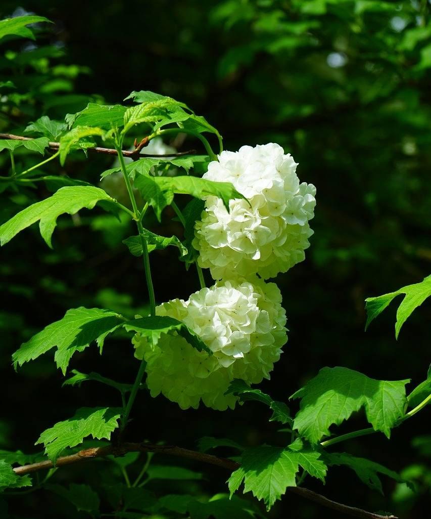 Arbuste Boule De Neige : arbuste, boule, neige, Boule, Neige, Plantation,, Taille,, Entretien
