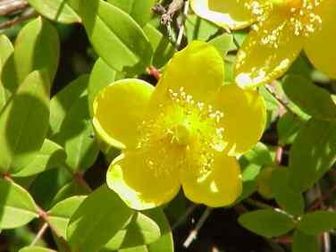 Hypericum moserianum
