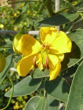Senna corymbosa zuhaixka(perenne)