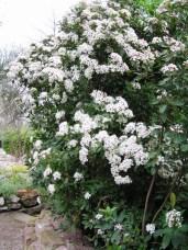 Viburnum Tinus (erramu txinatarra)