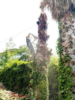 Tala-palmeras-Gros-3