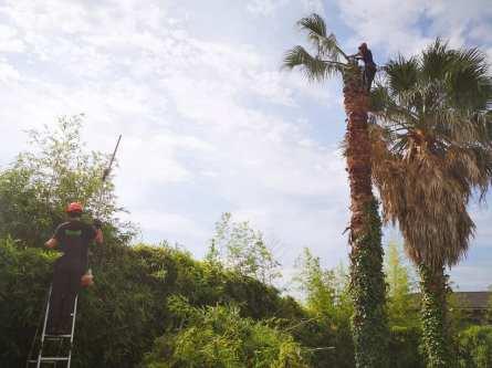 Tala-palmeras-Gros