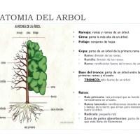 XI.- Historias en verde. Anatomía de un árbol. Cómo se desarrolla
