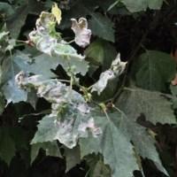 Historias en verde: enemigos de los árboles ornamentales
