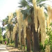 El mundo de las palmeras ornamentales